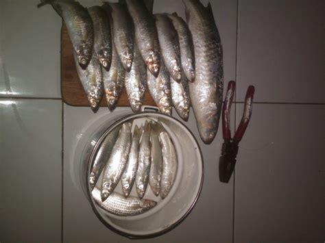 umpanmancing tips memancing ikan belanak