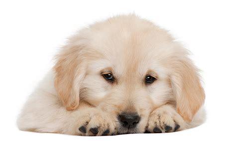 golden retriever puppies week by week golden retriever puppy 20 weeks photograph by on white