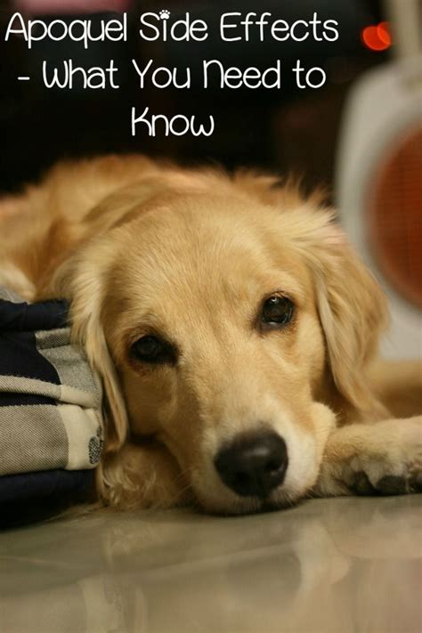 apoquel for dogs apoquel side effects in dogs the o jays need to and side effects
