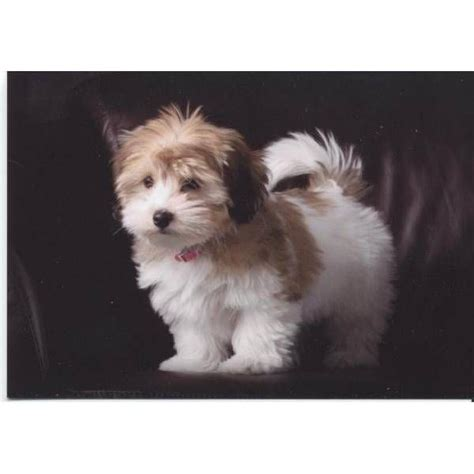 grooming a havanese puppy best 25 havanese grooming ideas only on