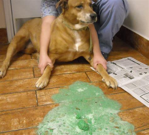 puppy vomiting yellow ate carpet and threw up carpet vidalondon