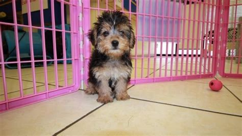 yorkie poo puppies for sale in atlanta amazing yorkie poo puppies for sale in atlanta ga at puppies for sale local