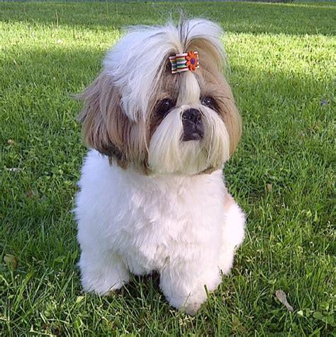 shih tzu puppy wont eat my shih tzu assistedlivingcares
