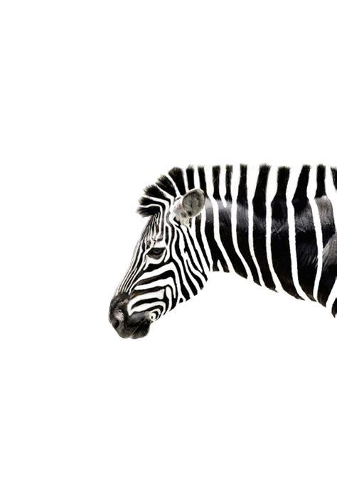 tumblr zebra themes transparent zebra tumblr