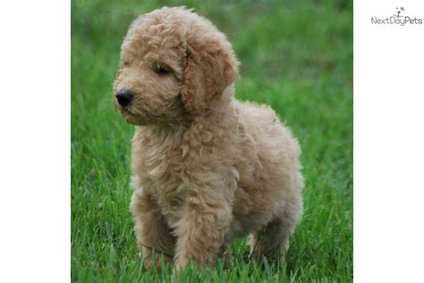 Non Shedding goldendoodle puppy for sale for 1 200 non shedding