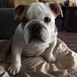 adoption sacramento ca view ad bulldog for adoption california sacramento