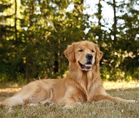 top golden retriever names 10 most popular and golden retriever names