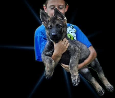 german shepherd puppies for sale in knoxville tn akc german shepherd puppies for sale in knoxville tn