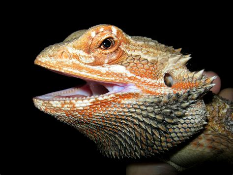 how often do bearded dragons go to the bathroom bearded dragon pogona vitteceps thepetsever