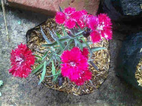 Bibit Biji Bunga Dianthus Baby Doll Import tanaman baby doll bibitbunga