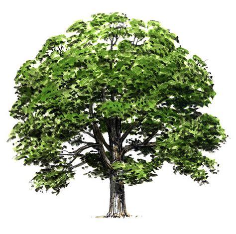 trees maryland maryland state tree white oak