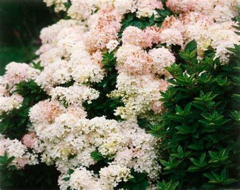 hardy flowering shrubs elmore roots nursery llc hardy flowers shrubs