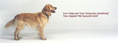 why to get a golden retriever how to get a golden retriever assistedlivingcares