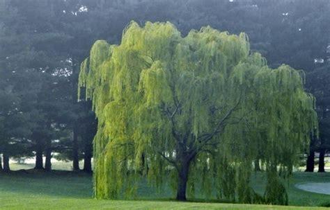 salice piangente in vaso salice piangente prezzo alberi latifolie qual 232 il