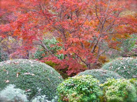 growth pattern of japanese maple japanese maples at autumn s end deb s garden deb s