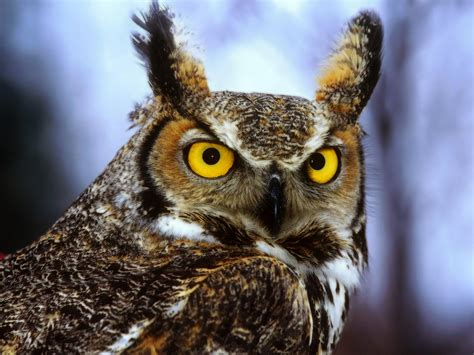 owl free desktop wallpapers for hd widescreen and mobile