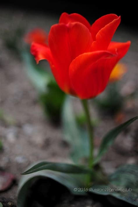 sfondi di fiori bellissimi fiori fiori sfondi tulipano sfondi fiori 760285