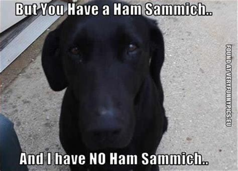Black Lab Meme - trending funny black lab memes