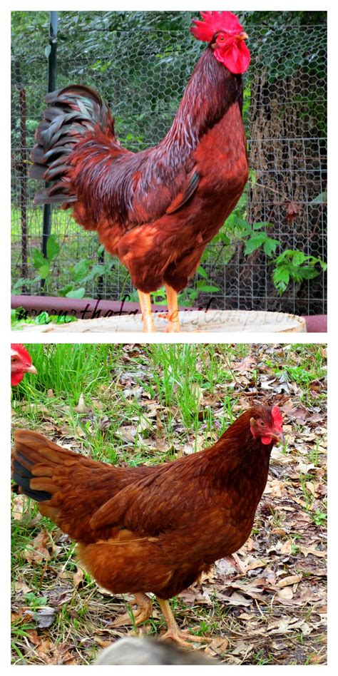 backyard poultry australia best chicken breeds for meat in australia with raising