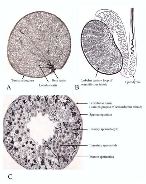 Human Cross Section by A Cross Section Of The Human Testis Drawing Of A Par