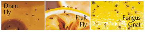 Gnats In Bathroom And Kitchen by Fungus Gnats Fruit Flies And Drain Flies What Is The