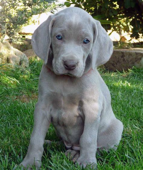 grey puppy names weimaraner all big breeds