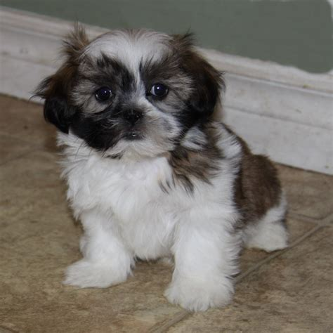 shih tzu puppies for sale indiana shih tzu puppies for sale tricolour puppies for sale dogs for sale in ontario