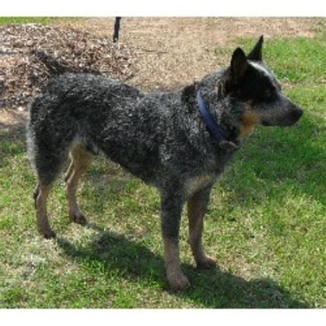 puppies with blue for sale australian cattle dogs for sale in breeds picture