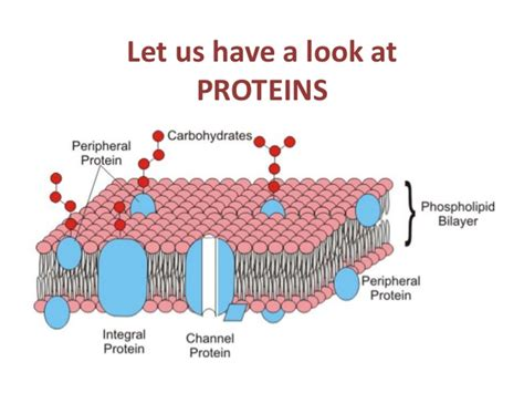 4 proteins in cell membrane biology form 4 chapter 3 movement of substances across