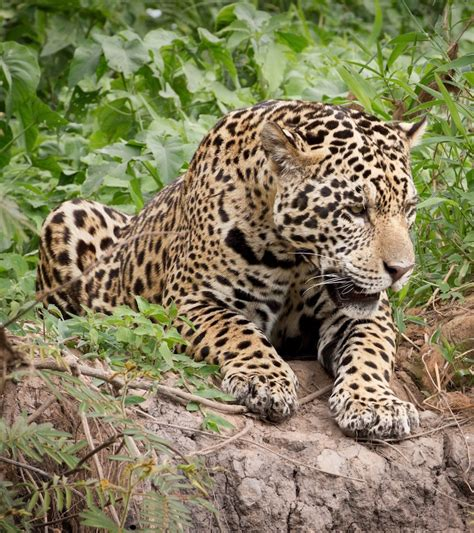 facts about jaguar jaguar fast facts seethewild wildlife conservation travel
