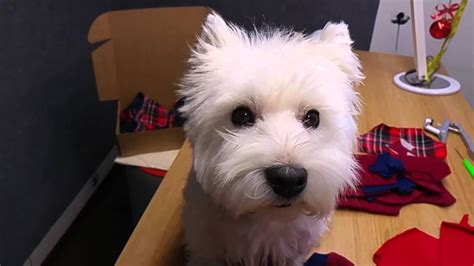close cut westie pics westie after hair cut doggie angel style youtube