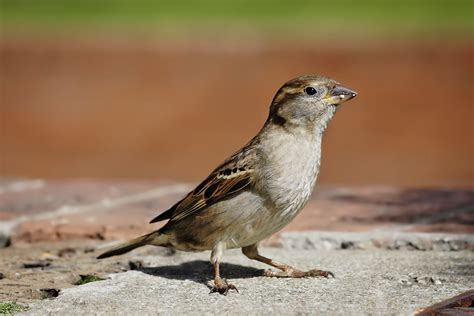 pictures of house english sparrows showing young and adults