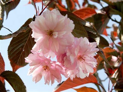 sierkers met witte bloemen japanse struik met witte bloemen beautiful bomen en