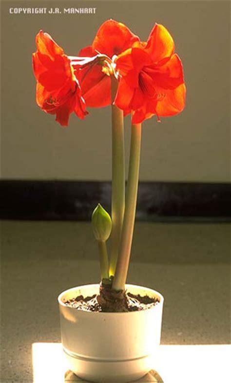 guide  growing amaryllis amaryllis nebraska