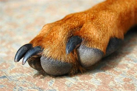 paw pad injury paw pad issues and injuries in dogs symptoms causes diagnosis treatment recovery