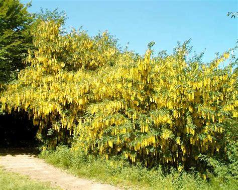 pianta dai fiori gialli cytisus laburnum maggiociondolo sempreverde net