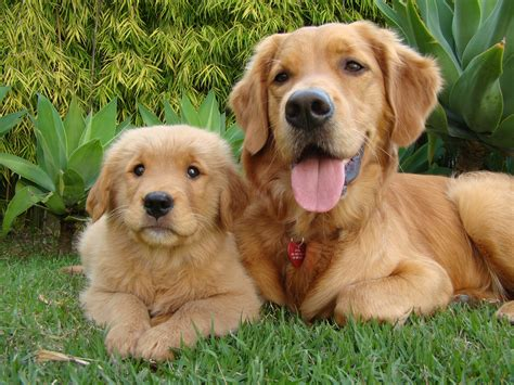 golden retrievers and children how golden retrievers help children with autism tip10