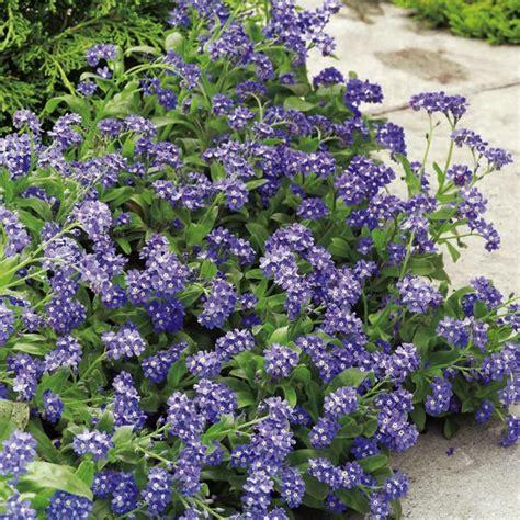 imagenes flores no me olvides nomeolvides p 250 rpuras im 225 genes y fotos