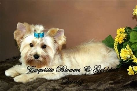 gold dust yorkie golddust terrier breed information and pictures