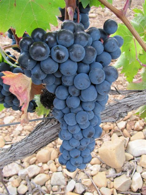 imagenes de uvas tintas urbina vinos blog variedades de uva tinta en espa 241 a