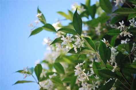 Tanaman Bunga Melati cara menanam bunga melati stek beserta gambar dan