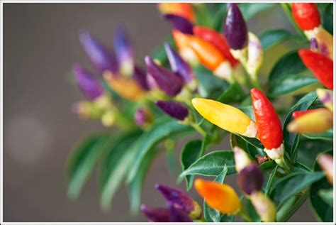 Bibit Rainbow jual benih bibit cabai multiwarna bolivian rainbow