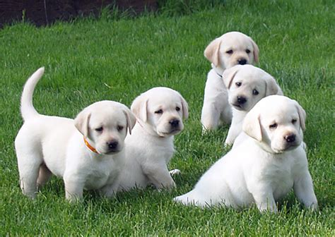 lab puppies oregon cold creek farms yellow labradors breeders oregon labs labrador fox