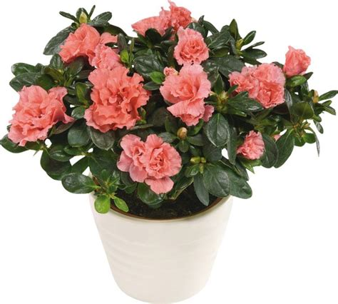most common flowering house plants the most popular indoor plants of germany fresh design pedia