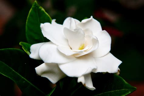 gardenias flower gardenia fables and flora