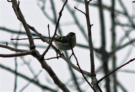 pioneer birding ma greenfield cbc 12 29