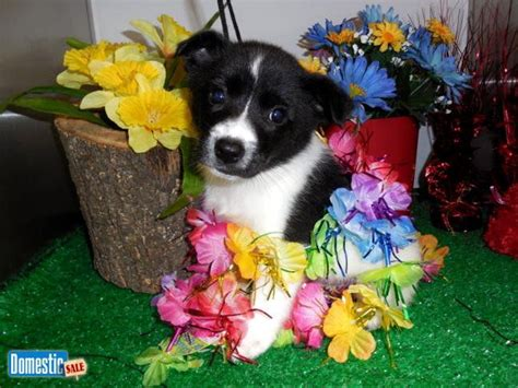 border collie puppies illinois 17 best images about chicago hugable puppies on parks beagle puppies and
