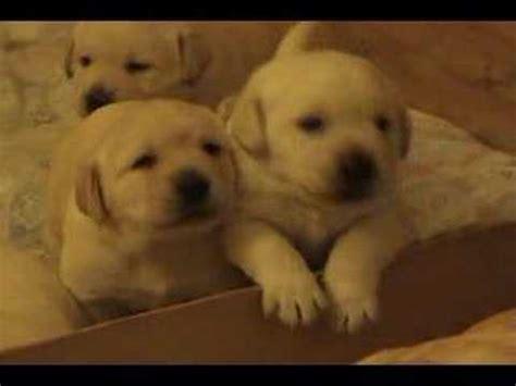 three week puppies three week yellow lab puppies