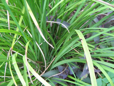 identify garden flowers help me identify this plant flower iris growing grass