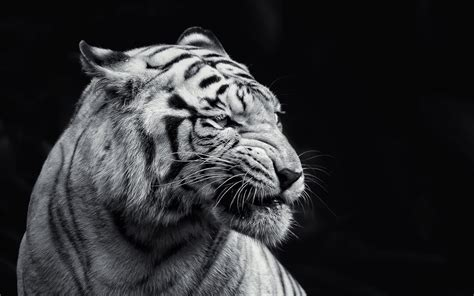 wallpaper hd black tiger lion black and white hd images wallpapers 6474 amazing
